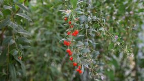 Goji berry fruit planting Stock Images