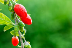 Goji berry Royalty Free Stock Photography