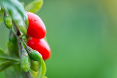 Goji berry Stock Image
