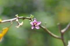 Goji da flor e das folhas imagem de stock