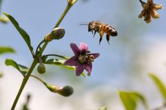 Goji flower and bee Stock Photo