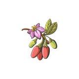 Goji  illustration on white background. Royalty Free Stock Image