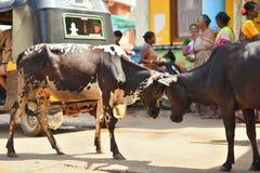 GOKARNA IL KARNATAKA INDIA - 29 GENNAIO 2016: Due tori che si confinano nella via nella città di Gokarna fotografia stock