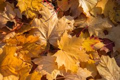 Golden Autumn. Yellow and brown maple leaves. Natural autumn background close-up. Yellow, gold fall maple leavs stock photo