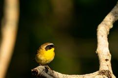 Gola gialla comune Immagine Stock Libera da Diritti