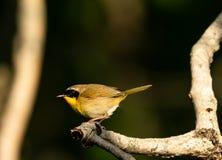 Gola gialla comune fotografia stock