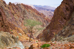 Gola rossa delle montagne dell'albero Fotografia Stock Libera da Diritti