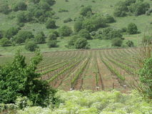 Golan Heights Vineyard Stock Image