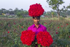 "Golap GramRose Village is one of the beautiful place in Bangladesh. It produces most of the roses in the union, gaining the title of ""Golap Graam"" or the Stock Photo"