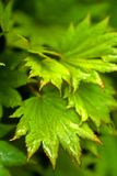 Gold Acer. Japanes maple Stock Photo
