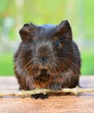 Gold Agouti, Guinea Pig, Pet, Nager Stock Photography