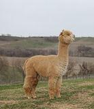 Gold alpaca standing Stock Photos