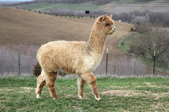 Gold alpaca walking on a hill Royalty Free Stock Photo