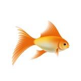 Gold aquarium fish. Gold fish. Isolated on white background. Stock  illustration Royalty Free Stock Images