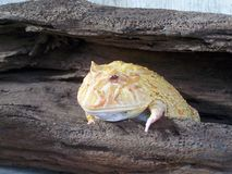 Gold Argentina Horned frog Royalty Free Stock Photography