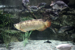 Gold Arowana Stock Photography