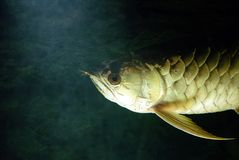 Gold Arowana underwater Royalty Free Stock Images