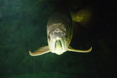 Gold Arowana underwater Royalty Free Stock Photography