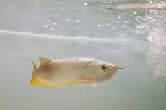 Gold Arowana underwater Stock Images
