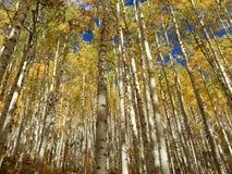 Gold Aspens at Kebler Pass stock photo