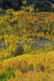 Gold Aspens Royalty Free Stock Images