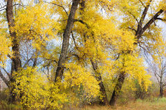 Gold autumn. Landscape gold autumn. Poplars with yellow leaves Royalty Free Stock Photos