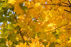 Gold autumn Royalty Free Stock Image