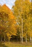 Autumn. Gold Trees in a park. Gold Autumn. Beautiful yellow orange trees and leaves in the forest, park landscape in sunny day stock photo