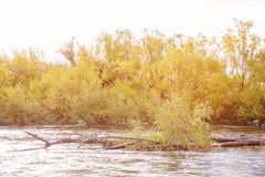 Yellow Autumn Foliage On Trees By A River. Gold autumn foliage on trees beside a fast flowing river stock photos
