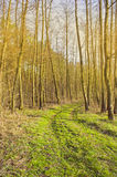 Gold autumn forest Royalty Free Stock Image