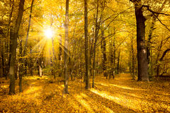 Gold Autumn landscape with sunlight and sunbeams stock image