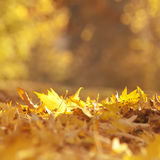 Gold autumn leaves Royalty Free Stock Photo