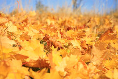 Gold autumn Stock Photography