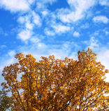 Gold autumn tree. Gold tree on blue sky backgound stock images
