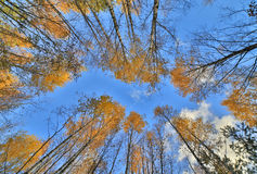 Gold autumn trees grow to blue sky Royalty Free Stock Photo