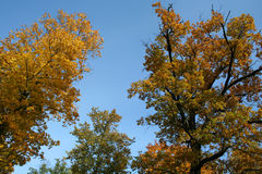 Gold autumn trees with sky. Gold autumn trees with blue sky stock photo
