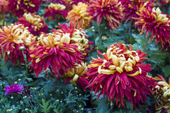Gold back red Chrysanthemum Royalty Free Stock Photos