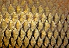 Gold background. Abstract background - gold fish scales close up Royalty Free Stock Photography