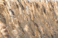 Gold Backlit Reeds Royalty Free Stock Photos