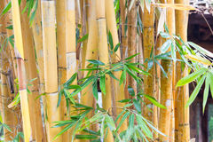 Gold bamboo trunk Stock Photos