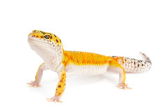Gold Band Leopard Gecko Stock Image