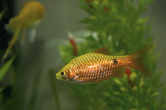 Gold Barb in an Aquarium Tank Stock Photos
