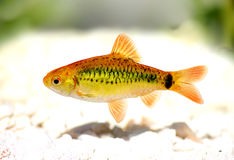 Gold barb Barbodes semifasciolatus Chinese barb aquarium fish. Swarm of Gold barb Barbodes semifasciolatus Chinese barb aquarium fish Royalty Free Stock Photography