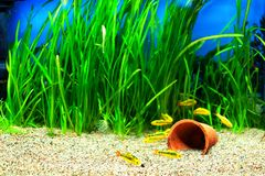 Gold Barb fish in an Aquarium. Group of a small Gold Barb fish in an Aquarium royalty free stock photos