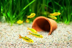 Gold Barb fish in an Aquarium. Group of a small Gold Barb fish in an Aquarium stock image