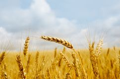 Gold barley Royalty Free Stock Image