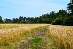 Gold barley field stretched out on both sides of a pathway that leads into a forest in Jeju Island. Gold barley field with no one present, stretched out on both royalty free stock image