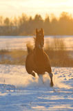 Gold bay horse in winter. Runs front Stock Photography