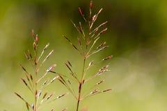 Gold beard grass bokeh background royalty free stock photo