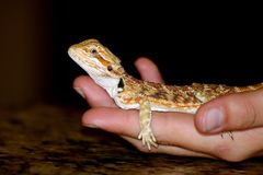 Gold Bearded Dragon on Boy`s Hand. A little gold bearded dragon calmly sits in the palm of a boy`s hand, on a dark background royalty free stock photos